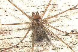 Image of Round-bodied Daddy-long-leg