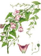 Image of <i>Maurandya scandens</i> (Cav.) Pers.