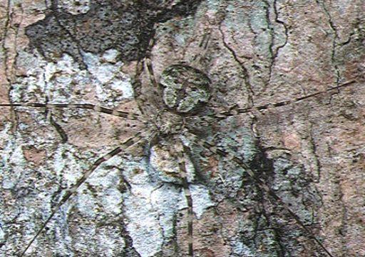 Image of Hersilia