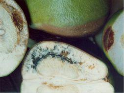 Image of <i>Geotrichum candidum</i>
