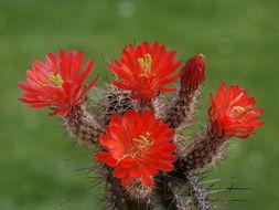 Image of Scarlet Hedgehog Cactus