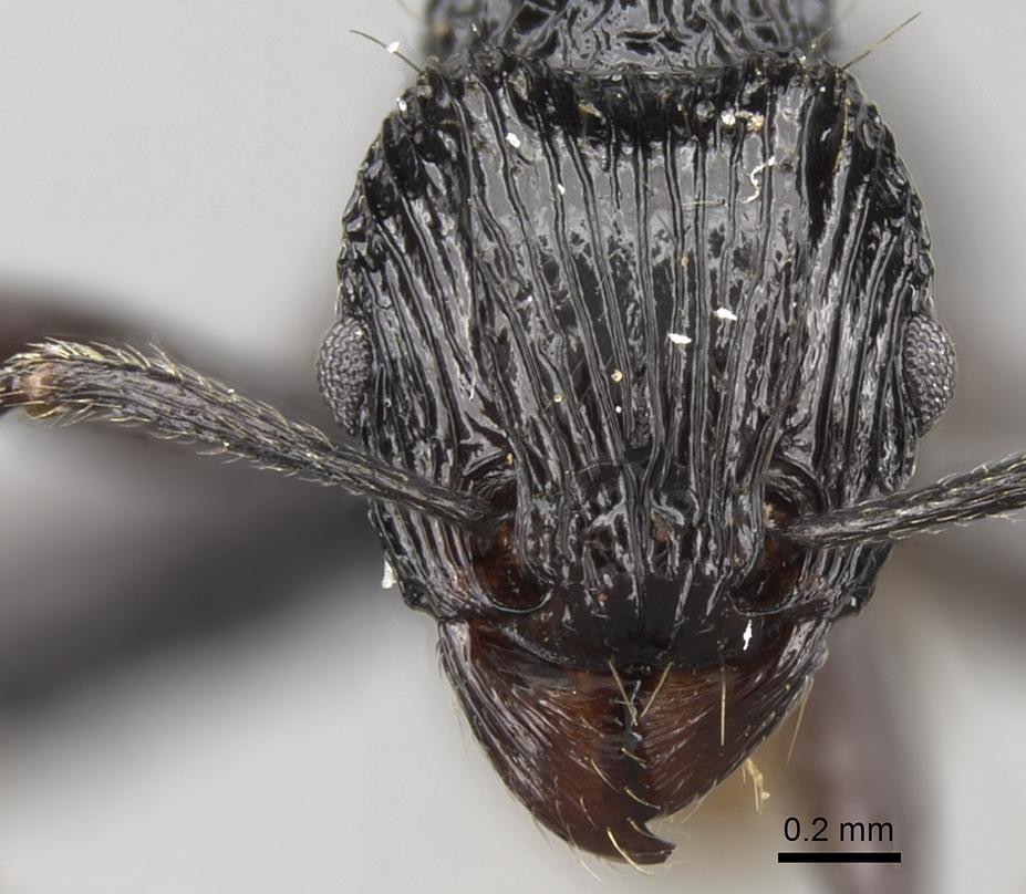 Image of <i>Tetramorium smaug</i> Hita
