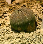 Image of <i>Euphorbia obesa</i> Hook. fil.