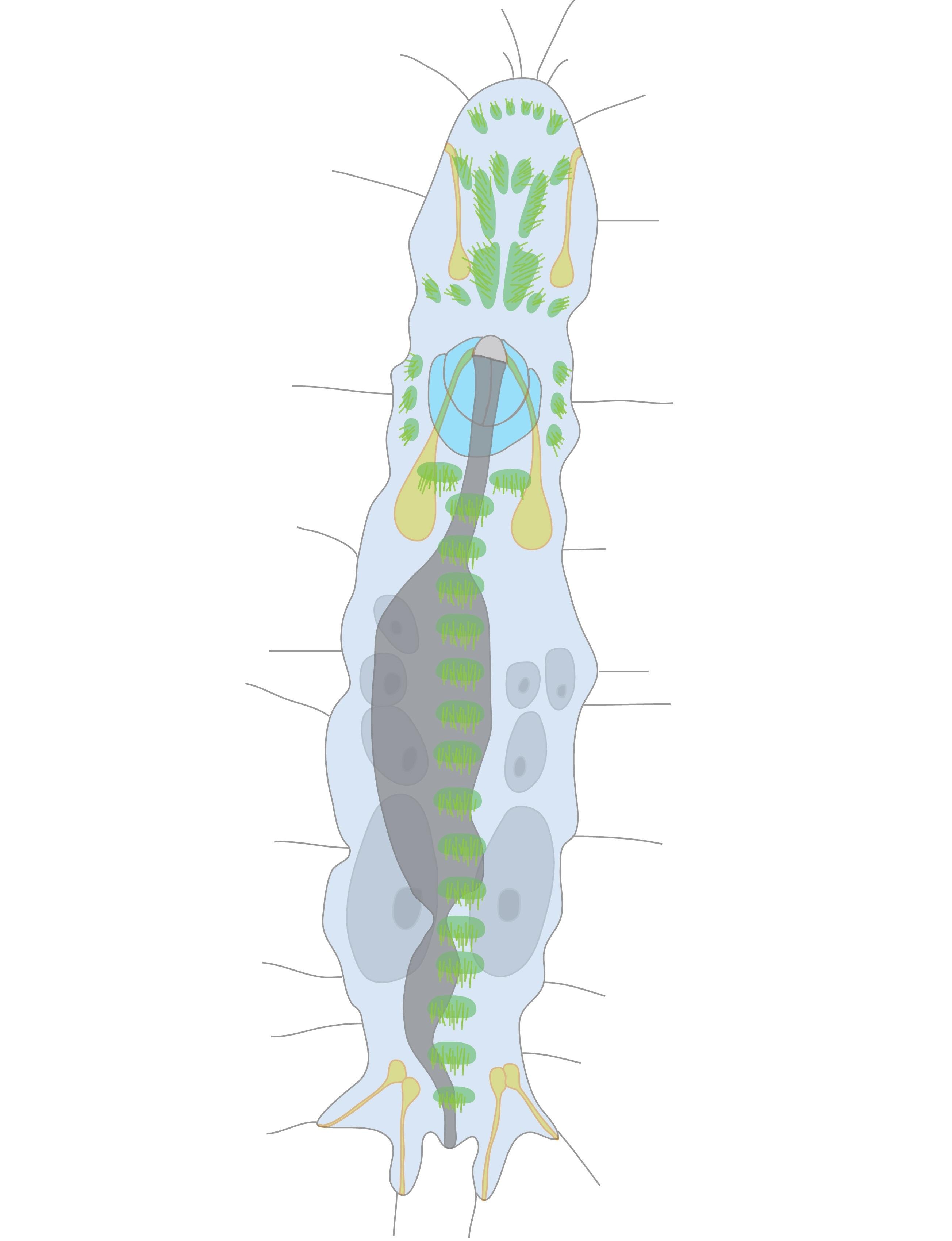 Image of Diurodrilus