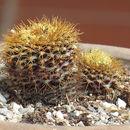 Image of <i>Frailea curvispina</i> Buining & Brederoo