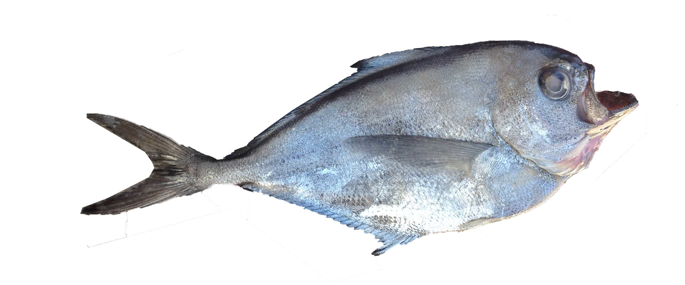 Image of Southern ray's bream