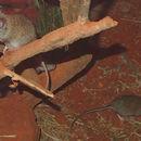 Image of Australian native mouse