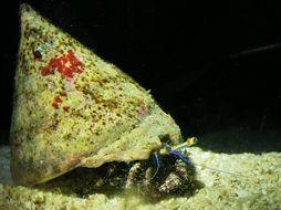 Image of Longeye hermit crab