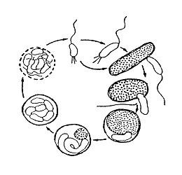 Image of Bdellovibrio