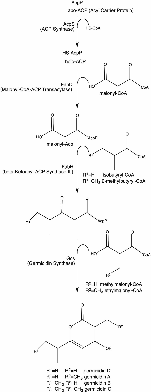 Image of Streptomyces