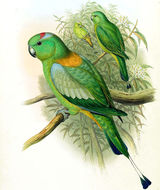 Image of Golden-mantled Racquet-tail