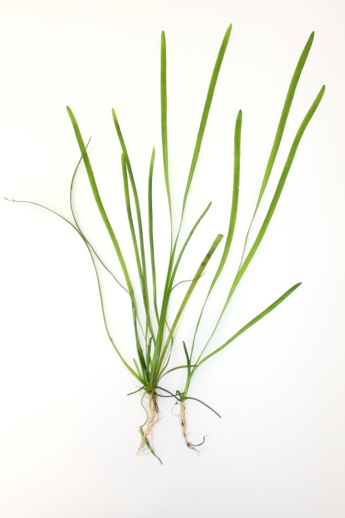 Image of Tapegrass