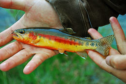 Image of Golden trout