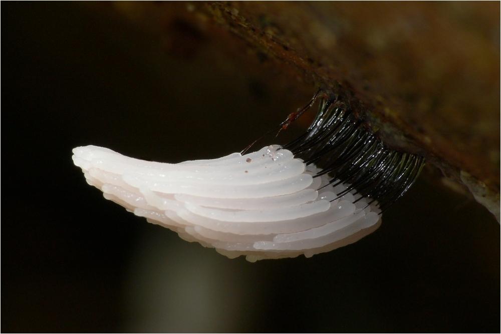 Image of <i>Stemonitis axifera</i>