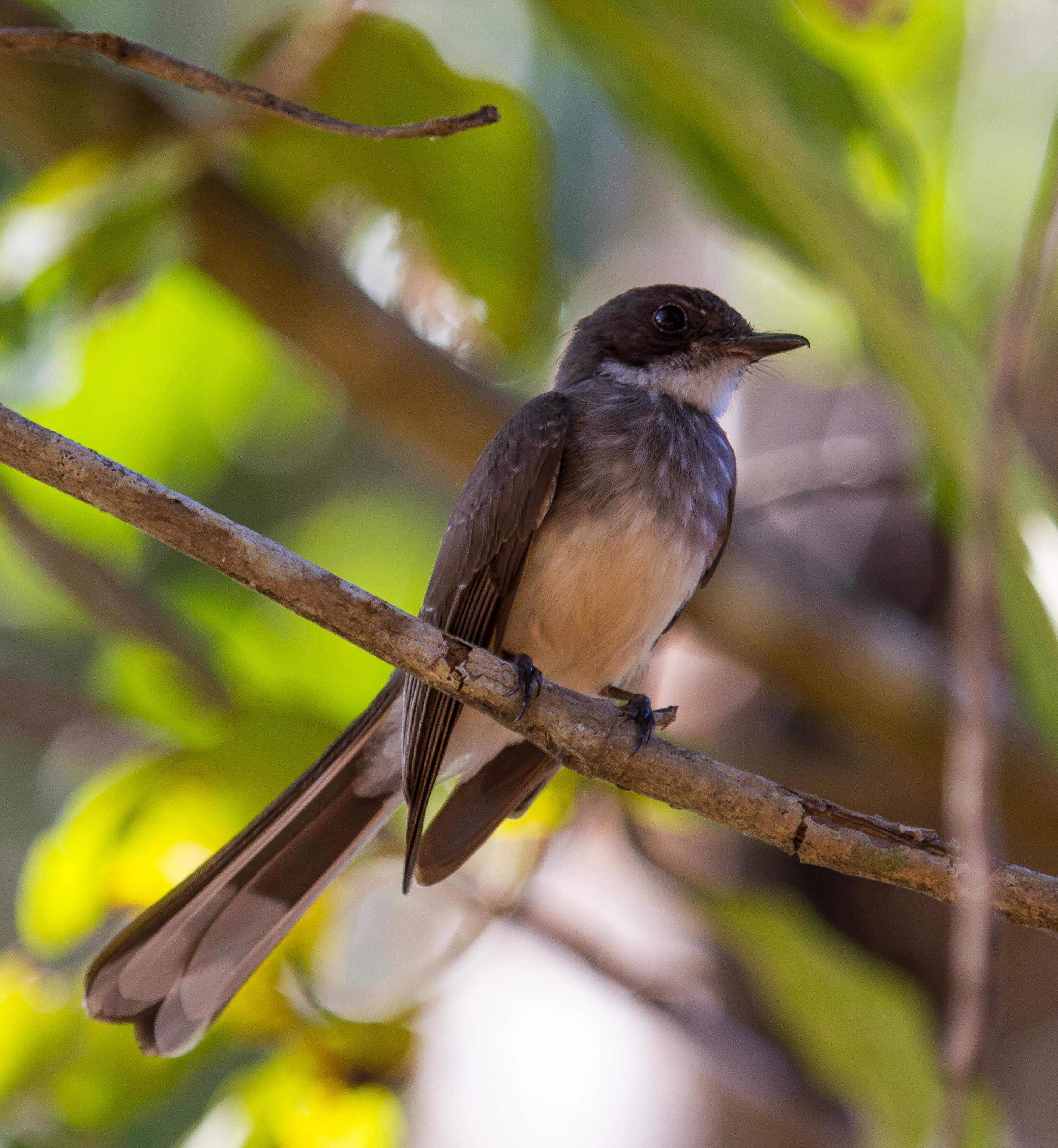 Image of Northern Fantail