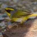 Image of Black-faced Warbler