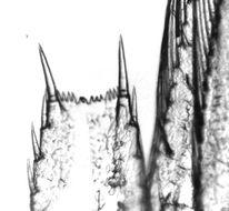 Image of <i>Hemimysis anomala</i> G. O. Sars 1907