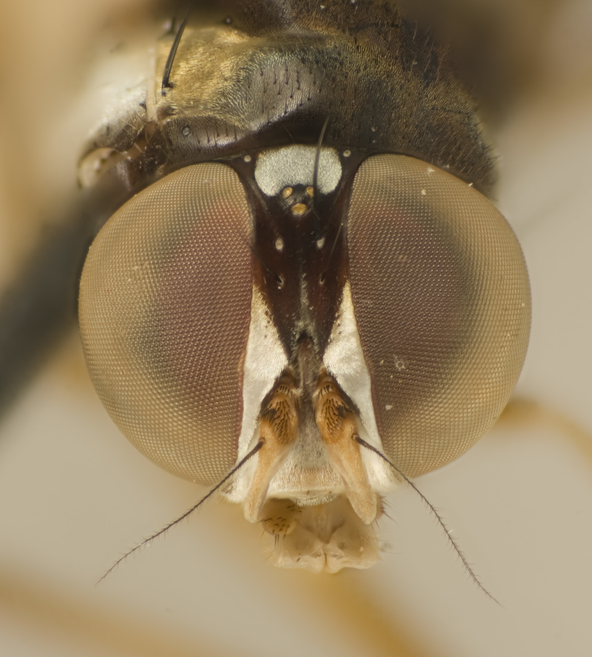 Image of tanypezid flies