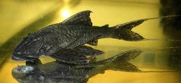 Image of Hemiancistrus