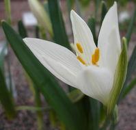 Image of <i>Sternbergia candida</i> B. Mathew & T. Baytop