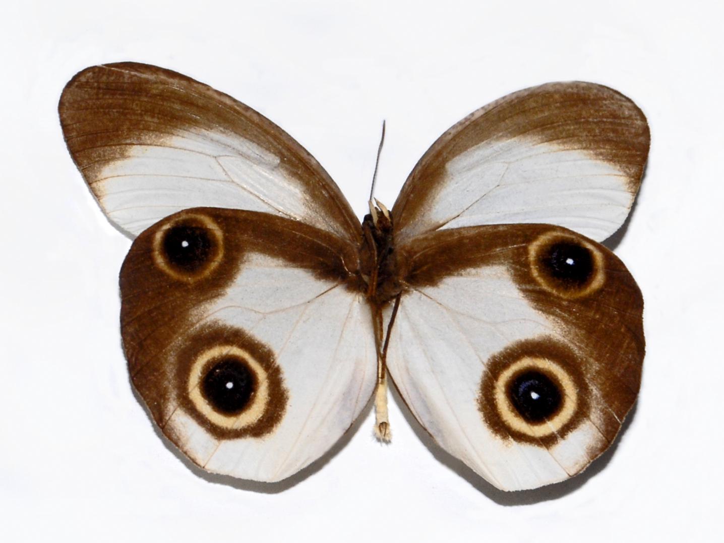 Image of <i>Taenaris macrops</i> Felder 1860
