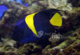 Image of Arabian Angelfish