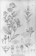 Image of Grey plum