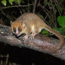 Image of Peters' Mouse Lemur
