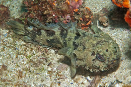 Image of Blotchtail toadfish