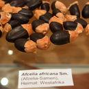 Image of African mahogany