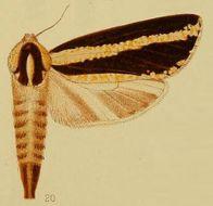 Image of <i>Azygophleps atrifasciata</i> Hampson 1910