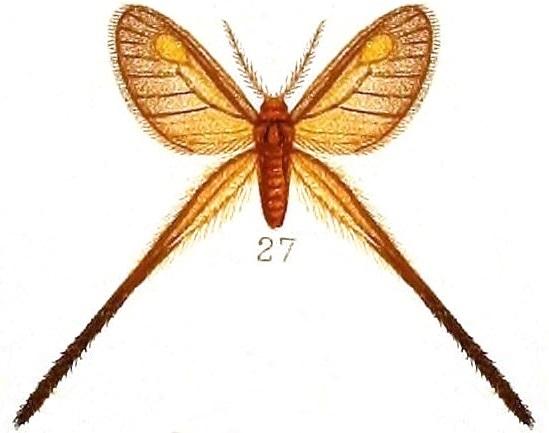 Image of <i>Semioptila flavidiscata</i> Hamson 1910