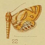 Image of <i>Eoophyla capensis</i>