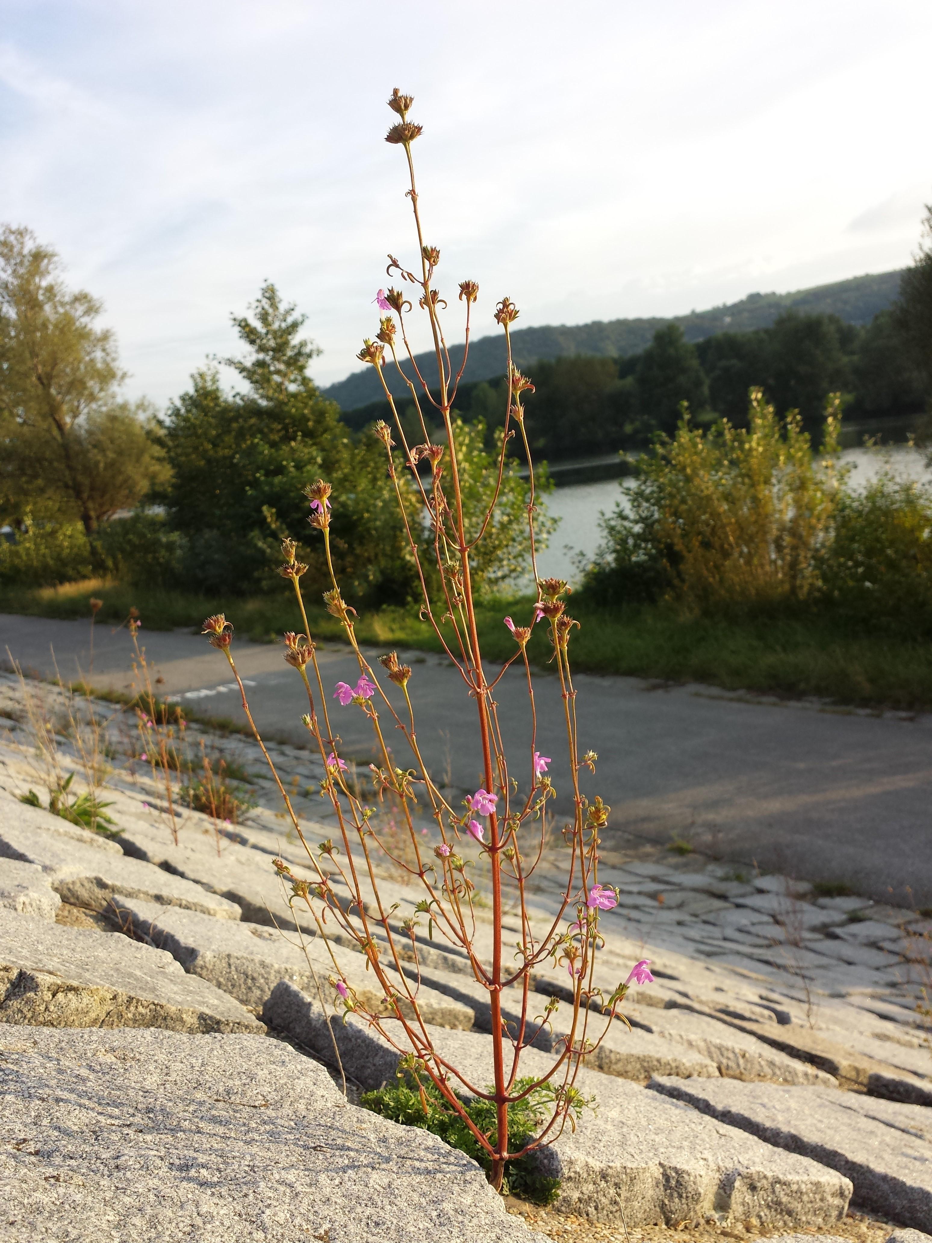 Image of <i>Galeopsis angustifolia</i>