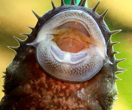 Image of Bluechin xenocara