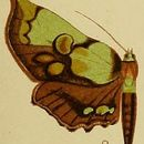 Image of <i>Mittonia hampsoni</i> Distant 1897