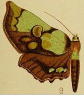 Image of <i>Mittonia hampsoni</i> Distant 1897