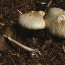 Image of Wrinkled Fieldcap