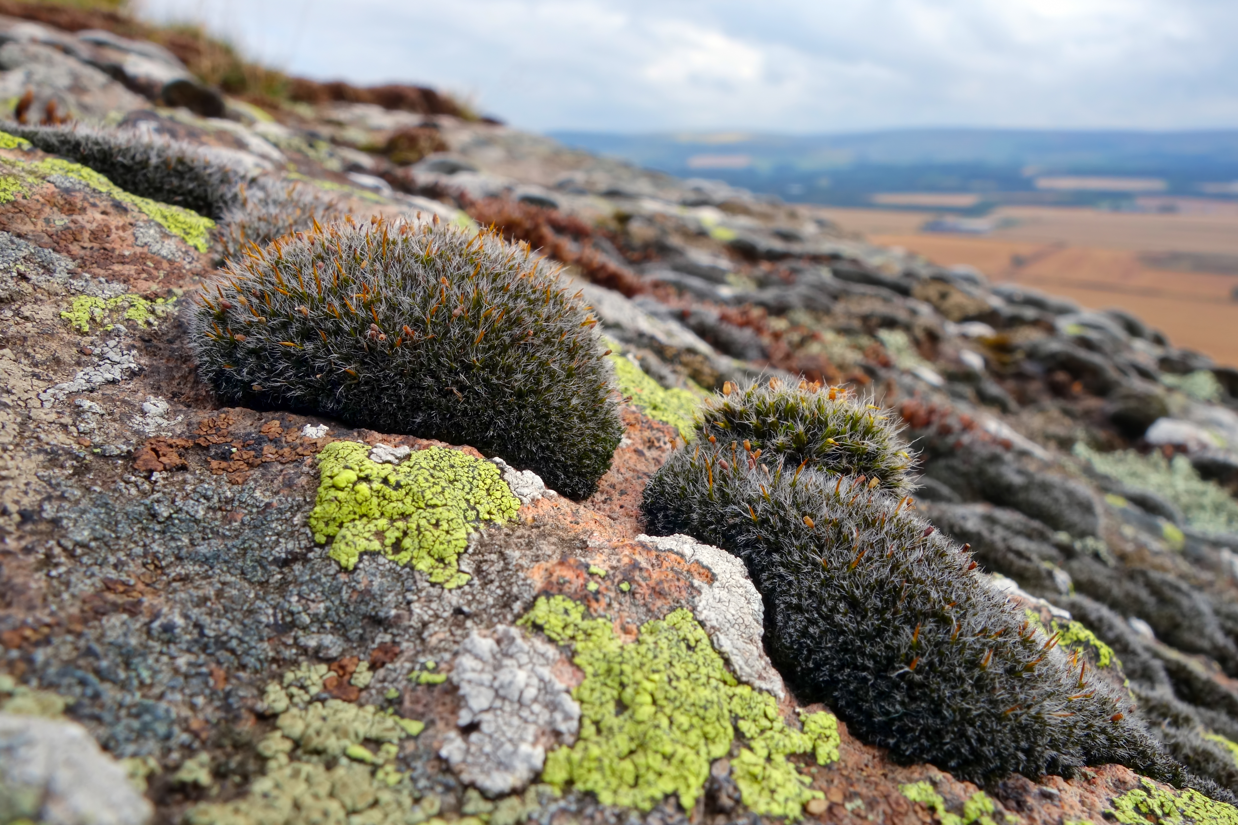 Image of grimmia dry rock moss