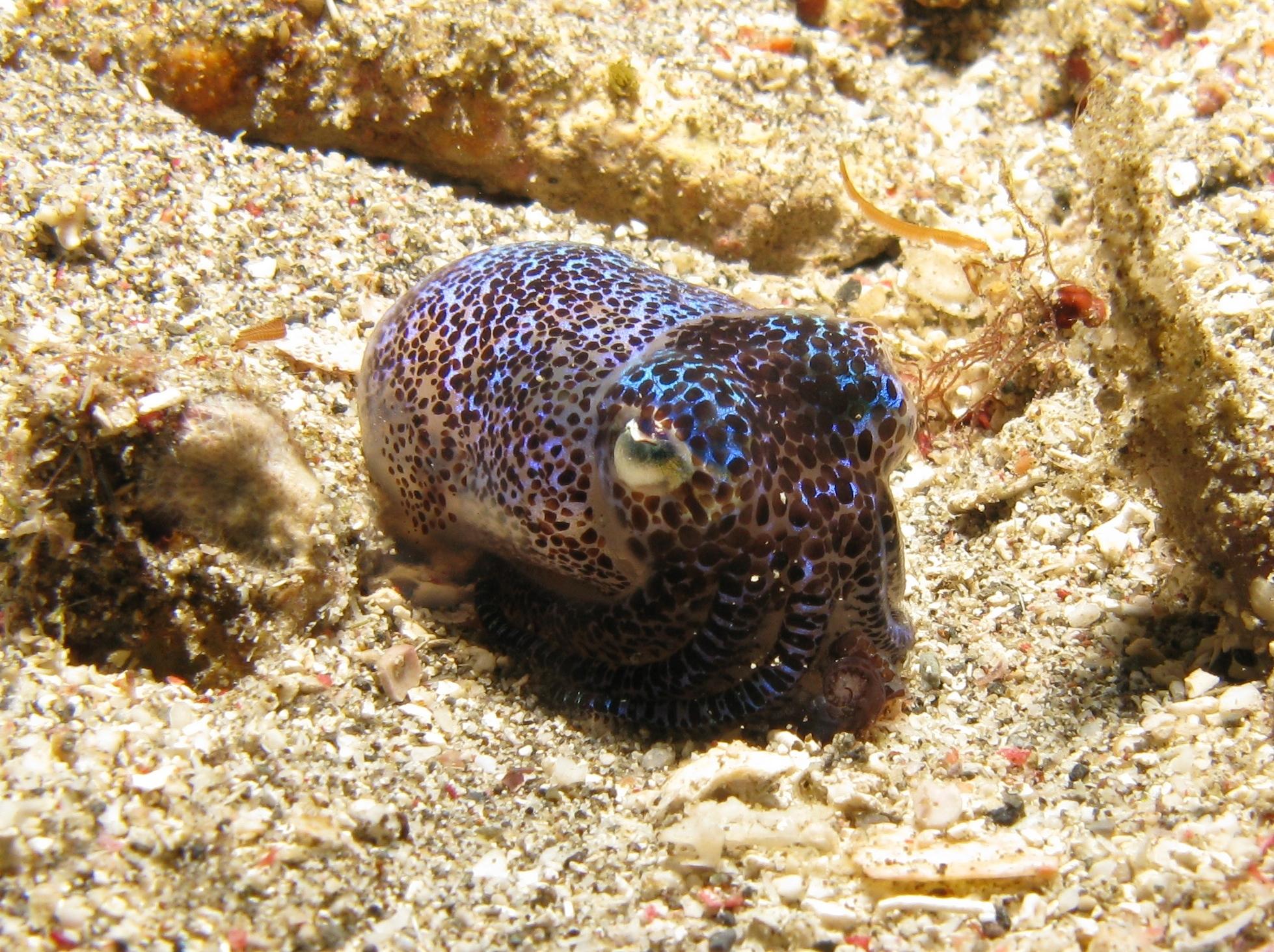 Image of Humming-bird Bobtail Squid