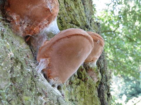 Image of Black Oak