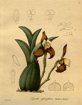Image of <i>Lycaste xytriophora</i> Linden & Rchb. fil.