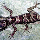 Image of <i>Cyrtodactylus phongnhakebangensis</i> Ziegler, Rösler, Herrmann & Thanh 2003