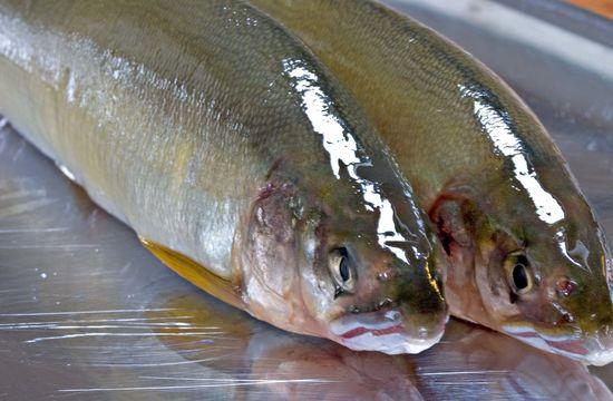Image of Ayu sweetfish