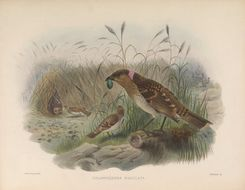Image of Spotted Bowerbird