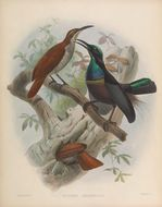 Image of Magnificent Riflebird