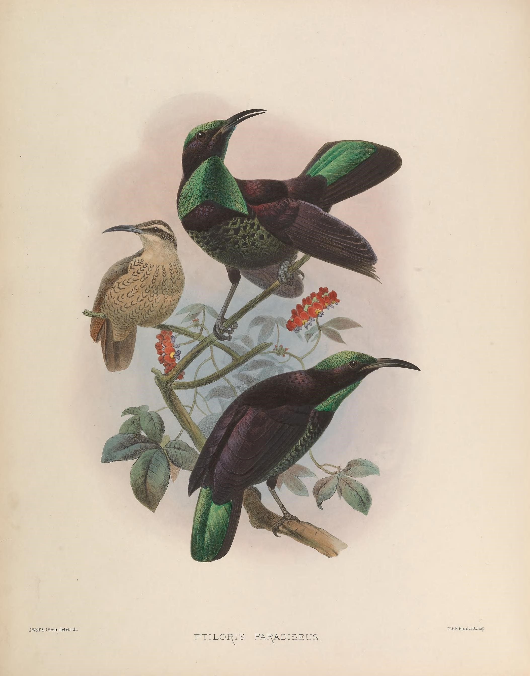 Image of Paradise Riflebird