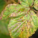 Image of <i>Coryneopsis rubi</i>