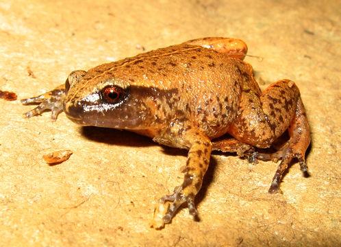 Image of Rain Frog