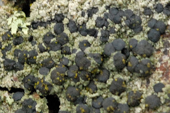 Image of Tiny button lichen